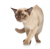 Burmese cat on a white background Royalty Free Stock Photos