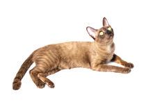 Burmese cat Royalty Free Stock Photos