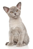 Burmese cat on white background Royalty Free Stock Photo