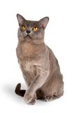 Burmese cat on white background. A portrait of Burmese cat on white background Royalty Free Stock Photo