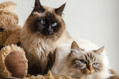 Burmese cats. Laying down on a soft blanket stock images