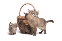 Burmese cats in big basket royalty free stock image