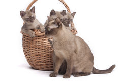 Burmese cats in big basket. Pretty little Burmese breed cat of pale color(straw-coloured). isolated over white background stock photos