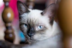 Burmese chocolate cat staring in the camera stock image