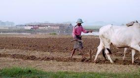 Burmese farmer plowing field using asian buffaloes near U Bein bridge. Myanmar. AMARAPURA, MYANMAR - DEC 17, 2014: Traditional village life in Burma countryside stock footage
