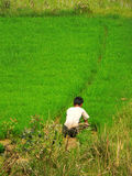 Burmese Farmer & Rice Crop. The farmer is removing the rice plants from the paddy field royalty free stock photography
