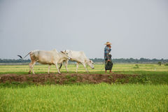 Burmese farmer walk with cow on paddy or rice field located at Bagan Stock Photography
