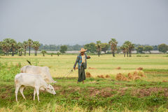 Burmese farmer walk with cow on paddy or rice field located at Bagan Stock Images