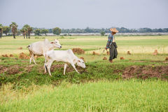 Burmese farmer walk with cow on paddy or rice field located at Bagan Stock Photos