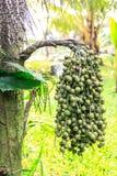 Burmese Fishtail Palm Stock Photos