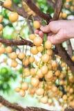 Burmese grape with hand on tree Stock Photos