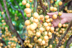 Burmese grape with hand on tree Royalty Free Stock Photo
