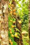 Burmese grape or Rambai on tree. Burmese grape or Rambai ,Thai native fruit name in thai is Ma Fai Royalty Free Stock Photo