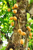 Burmese grape or Rambai on tree Stock Images
