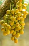 Burmese grape or Rambai Royalty Free Stock Photography