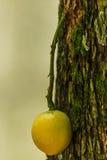 Burmese grape or Rambai Stock Images