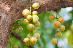 Burmese grape on tree Royalty Free Stock Photography