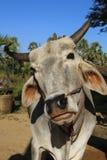Burmese grey ox at Bagan, Myanmar Burma. Burmese grey ox close up at Bagan, Myanmar Burma Stock Images