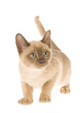 burmese gullig kattungewhite för bakgrund Arkivbild