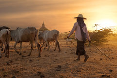 Burmese herder leads cattle at Bagan. Myanmar (Burma). Burmese herder leads cattle herd through amazing sunset landscape with ancient Buddhist pagodas at Bagan Stock Photo