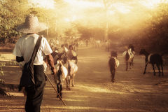 Burmese herder leads goat herd at sunset landscape. Myanmar (Bur Royalty Free Stock Image