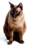 Burmese katt Royaltyfri Fotografi