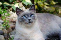 burmese katt Arkivbilder