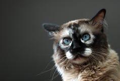 burmese katt royaltyfria bilder