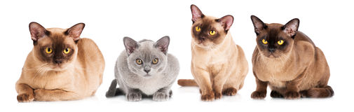 Burmese katter tillsammans Arkivbilder