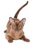 burmese kattunge Royaltyfri Fotografi