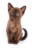Burmese kitten. On white background royalty free stock photo