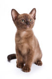 Burmese kitten Royalty Free Stock Photos