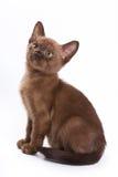 Burmese kitten Royalty Free Stock Images