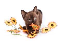 Burmese kitten Stock Image