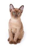 Burmese kitten stock images