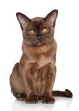 Burmese kitten Stock Photos