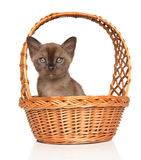 Burmese kitten in basket Stock Photography