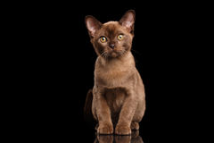 Burmese kitten with Chocolate fur Sitting on Isolated black background Stock Photos