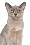 Burmese kitten Close-up portrait Royalty Free Stock Photos