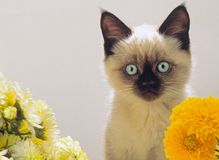 Burmese kitten looks Stock Photos