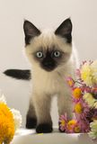 Burmese kitten looks. In an objective of camera stock photos