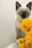 Burmese kitten looks, color Royalty Free Stock Photo