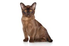 Burmese kitten. Sitting on a white background royalty free stock image