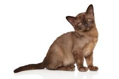 Burmese kitten on white background Royalty Free Stock Photography