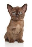 Burmese kitten on white stock photos