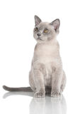 Burmese kitten on white Stock Image