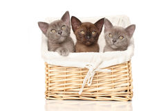 Burmese kittens in basket Stock Image