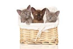 Burmese kittens in basket stock image