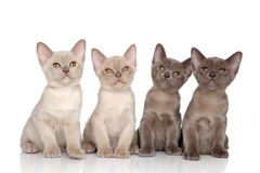 Burmese kittens Royalty Free Stock Image