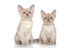 Burmese kittens Royalty Free Stock Images